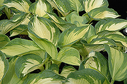 June Hosta (Hosta 'June') at Tagawa Gardens
