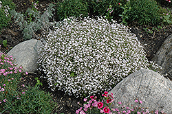 Creeping Baby's Breath (Gypsophila repens) at Tagawa Gardens