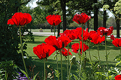 Beauty of Livermere Poppy (Papaver orientale 'Beauty of Livermere') at Tagawa Gardens