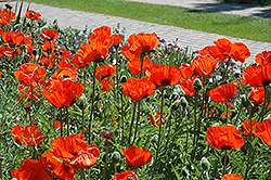 Brilliant Poppy (Papaver orientale 'Brilliant') at Tagawa Gardens