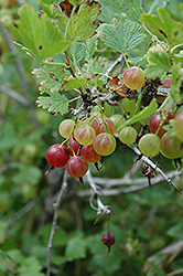 Pixwell Gooseberry (Ribes 'Pixwell') at Tagawa Gardens