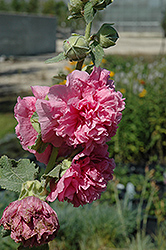 Chater's Double Pink Hollyhock (Alcea rosea 'Chater's Double Pink') at Tagawa Gardens