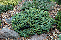 Mrs. Cesarini Blue Spruce (Picea pungens 'Mrs. Cesarini') at Tagawa Gardens