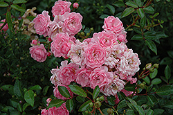 The Fairy Rose (Rosa 'The Fairy') at Tagawa Gardens