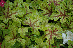 Alabama Sunrise Foamy Bells (Heucherella 'Alabama Sunrise') at Tagawa Gardens