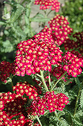 Red Velvet Yarrow (Achillea millefolium 'Red Velvet') at Tagawa Gardens