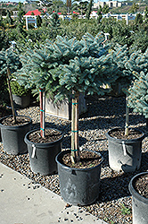 Globe Blue Spruce (tree form) (Picea pungens 'Globosa (tree form)') at Tagawa Gardens