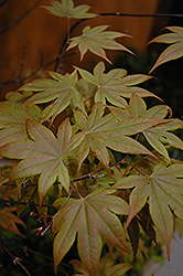 Purple-Leaf Japanese Maple (Acer palmatum 'Atropurpureum') at Tagawa Gardens