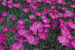 Firewitch Pinks (Dianthus gratianopolitanus 'Firewitch') at Tagawa Gardens