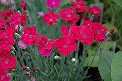 Neon Star Pinks (Dianthus 'Neon Star') at Tagawa Gardens