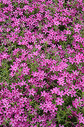Crimson Beauty Moss Phlox (Phlox subulata 'Crimson Beauty') at Tagawa Gardens
