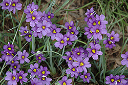 Lucerne Blue-Eyed Grass (Sisyrinchium angustifolium 'Lucerne') at Tagawa Gardens