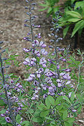Purple Smoke False Indigo (Baptisia 'Purple Smoke') at Tagawa Gardens