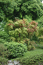 Shindeshojo Japanese Maple (Acer palmatum 'Shindeshojo') at Tagawa Gardens