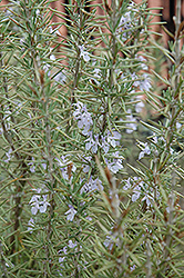 Arp Rosemary (Rosmarinus officinalis 'Arp') at Tagawa Gardens