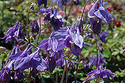 Alpine Columbine (Aquilegia alpina) at Tagawa Gardens