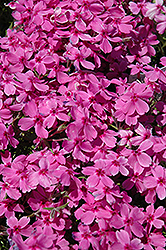 Red Wings Moss Phlox (Phlox subulata 'Red Wings') at Tagawa Gardens