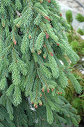 Weeping White Spruce (Picea glauca 'Pendula') at Tagawa Gardens