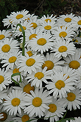 Snow Lady Shasta Daisy (Leucanthemum x superbum 'Snow Lady') at Tagawa Gardens