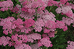 Pink Grapefruit Yarrow (Achillea 'Pink Grapefruit') at Tagawa Gardens