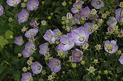 Samantha Bellflower (Campanula 'Samantha') at Tagawa Gardens