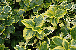 Gold Prince Wintercreeper (Euonymus fortunei 'Gold Prince') at Tagawa Gardens