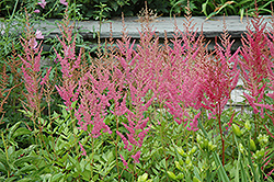 Visions in Pink Chinese Astilbe (Astilbe chinensis 'Visions in Pink') at Tagawa Gardens