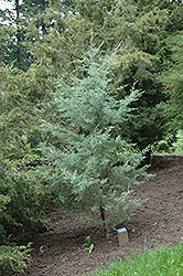 Smooth Cypress (Cupressus arizonica 'var. glabra') at Tagawa Gardens