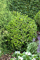 Winter Gem Boxwood (Buxus microphylla 'Winter Gem') at Tagawa Gardens