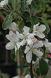 Granny Smith Apple (Malus 'Granny Smith') at Tagawa Gardens