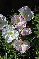 Mexican Evening Primrose (Oenothera berlandieri) at Tagawa Gardens