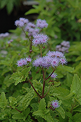 Blue Mistflower (Conoclinium coelestinum) at Tagawa Gardens