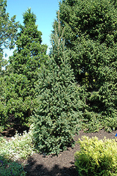 Columnar Norway Spruce (Picea abies 'Cupressina') at Tagawa Gardens