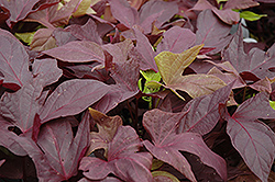 Sweet Caroline Red Sweet Potato Vine (Ipomoea batatas 'Sweet Caroline Red') at Tagawa Gardens