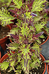 Stained Glassworks Witch Doctor Coleus (Solenostemon scutellarioides 'Witch Doctor') at Tagawa Gardens
