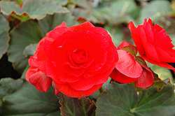 Solenia Red Begonia (Begonia 'Solenia Red') at Tagawa Gardens