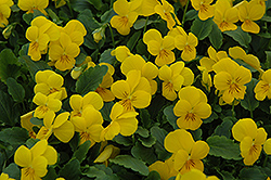 Sorbet XP Yellow Pansy (Viola 'Sorbet XP Yellow') at Tagawa Gardens