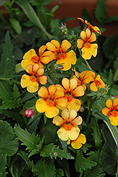 Juicy Fruits Kumquat Nemesia (Nemesia 'Juicy Fruits Kumquat') at Tagawa Gardens
