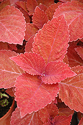 Big Red Judy Coleus (Solenostemon scutellarioides 'Big Red Judy') at Tagawa Gardens