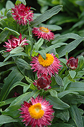 Mohave Dark Rose Strawflower (Bracteantha bracteata 'Mohave Dark Rose') at Tagawa Gardens