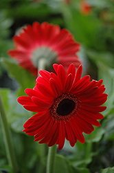Red Gerbera Daisy (Gerbera 'Red') at Tagawa Gardens