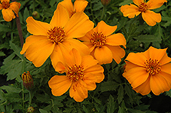 Disco Orange Marigold (Tagetes patula 'Disco Orange') at Tagawa Gardens