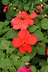 Super Elfin® Salmon Impatiens (Impatiens walleriana 'Super Elfin Salmon') at Tagawa Gardens