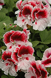 Elegance™ Crystal Rose Geranium (Pelargonium 'Elegance Crystal Rose') at Tagawa Gardens
