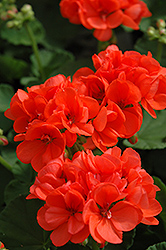 Patriot Orange Geranium (Pelargonium 'Patriot Orange') at Tagawa Gardens