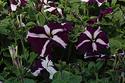 Ultra Blue Star Petunia (Petunia 'Ultra Blue Star') at Tagawa Gardens