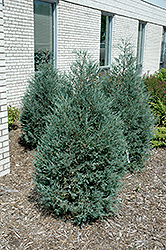 Sky High™ Juniper (Juniperus scopulorum 'Bailigh') at Tagawa Gardens
