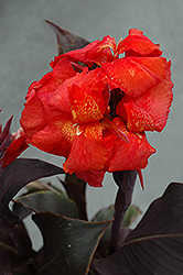 Tropical Bronze Scarlet Canna (Canna 'Tropical Bronze Scarlet') at Tagawa Gardens