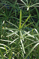 Miniature Umbrella Plant (Cyperus alternifolius 'Gracilis') at Tagawa Gardens