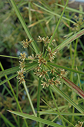 Umbrella Plant (Cyperus alternifolius) at Tagawa Gardens